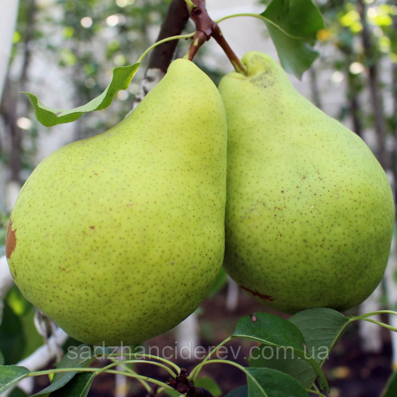 Саджанці груші Малівчанка