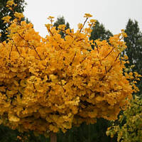 Саженцы Гинго Билоба(Дерево жызни)