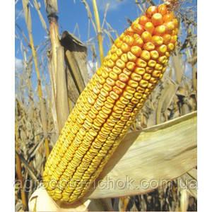 Семена кукурузы Адевей (Adevey) от Лимагрейн (Limagrain) кукуруза кукурудза, фото 2