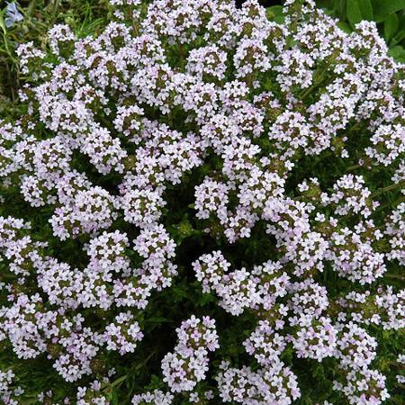 Саджанці Чебрецю звичайного (Thymus vulgaris)