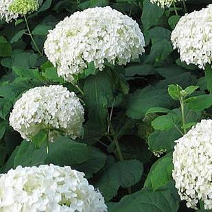 Саженцы Гортензии крупнолистной Белая (Hydrangea macrophylla)