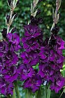 Гладиолус Black velvet 3 шт