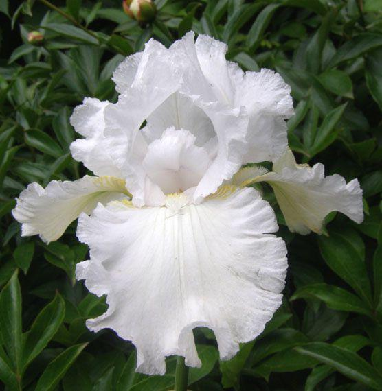 Ірис бородатий німецький Сніжний Вальс (Iris germanica Snow waltz)