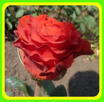 Роза чайно-гибридная Эльторо (El Toro) ( саженцы ), фото 2