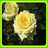 Роза желтая - Чайно-гибридная сорт Кронос ( саженцы )