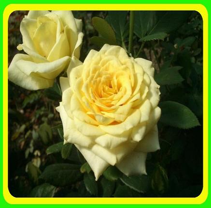 Роза желтая - Чайно-гибридная сорт Кронос ( саженцы ), фото 2
