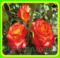 Чайно гибридная роза Высший свет  ( саженцы )