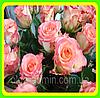 Саженцы Чайно-гибридной розы Дуэт