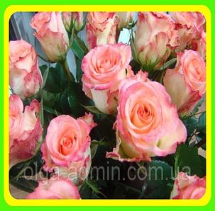 Саженцы Чайно-гибридной розы Дуэт, фото 2