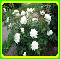 Роза чайно-гибридная Аваланш.Avalanche.  ( саженцы )