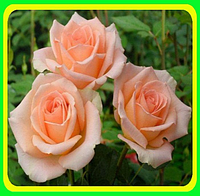 Роза Версилия (Versilia) саженцы
