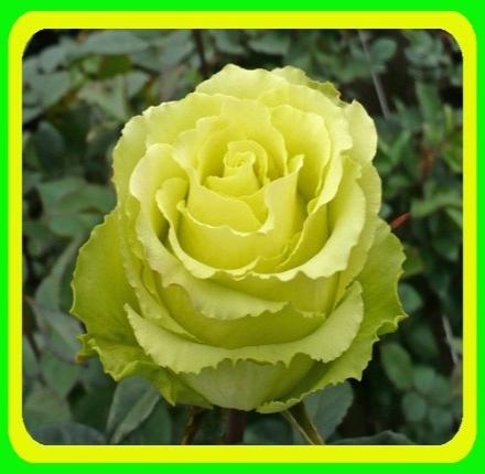 Роза чайно-гибридная Лимбо ( саженцы ), фото 2