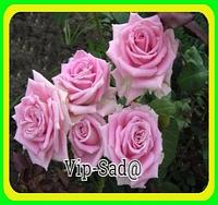 Чайно-гибридная роза без шипов - Аква Aqua (розовая)