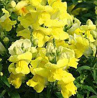 Антиринум Снеппи F1 желтый (1000шт)