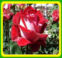 Роза чайно-гибридная Альянс (Alliance)  саженцы