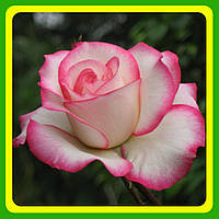 Чайно-гибридная роза Аттракта (Attracta) саженцы