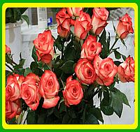 Роза Блаш (Blush)  саженцы