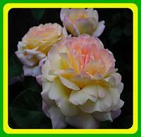 Роза чайно-гибридная Глория Дэй (Gloria Dei)  саженцы