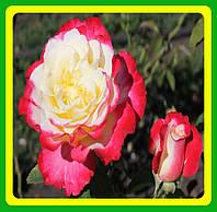 Роза Дабл Делайт ( Rose Double Delight ) саженцы