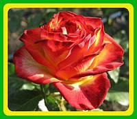 Роза Тукан Tucan саженцы