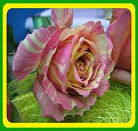 Роза сорт Фиеста Fiesta  саженцы