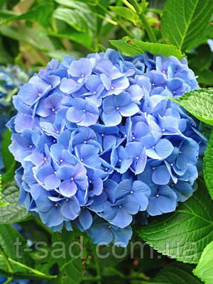 Гортензия крупнолистная Baby Blue (Бейби Блу)2год