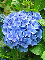 Гортензия крупнолистная Baby Blue (Бейби Блу)2год, фото 1