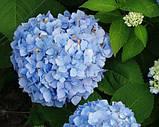 Гортензия крупнолистная Baby Blue (Бейби Блу)2год, фото 3