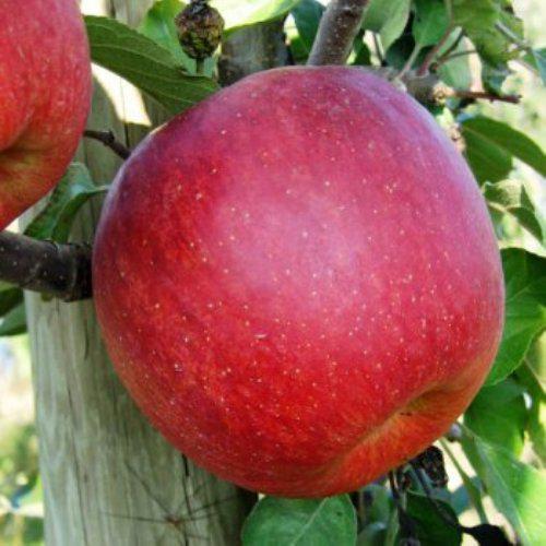 Саджанці яблуні Горець (Джонагоред)