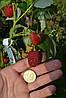 Саженцы малины сорт Полка, ремонтантная 2 сорт, фото 2