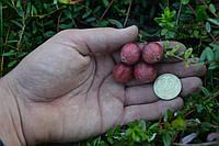 Саженцы клюквы Пилигрим, в контейнере 2 л., фото 1