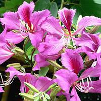 Орхидейное дерево или Баухиния пестрая. ( в упаковке 3 семени)