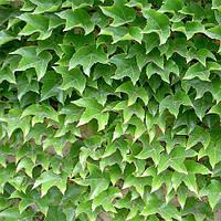 Саженцы Винограда Вичи, привитого (Parthenocissus tricuspidata Veitchii)