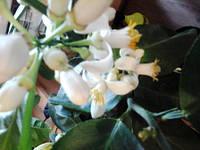 Подарок -цветущий Лимон высотой 25-40 см в чашке!