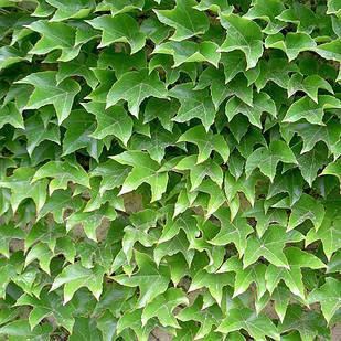 Саджанці Винограду Вічі - сіянці (Parthenocissus tricuspidata Veitchii)