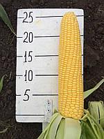 Семена сахарной кукурузы Тести Голд F1 1000 семян Agri Saaten