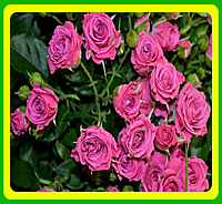Роза бордюрная Лав лидия ( саженцы )