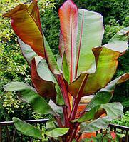 Энсета вздутая (Банан комнатный) 5 семян
