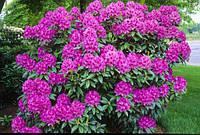 Рододендрон гібридний Anah Kruschke 2 річний, Рододендрон гибридный Ана Крушке, Rhododendron hybrid Anah Krusc