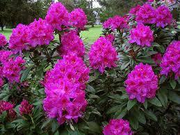 Рододендрон гібридний Anah Kruschke 2 річний, Рододендрон гибридный Ана Крушке, Rhododendron hybrid Anah Krusc, фото 3