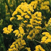 Кермек QIS желтый (1000шт)