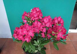 Рододендрон гібридний Zygmunt III Waza 2 річний, Рододендрон Зигмунт ІІІ Ваза, Rhododendron hybrid Zygmunt III, фото 2