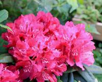 Рододендрон гібридний Zygmunt III Waza 2 річний, Рододендрон Зигмунт ІІІ Ваза, Rhododendron hybrid Zygmunt III