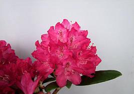 Рододендрон гібридний Zygmunt III Waza 2 річний, Рододендрон Зигмунт ІІІ Ваза, Rhododendron hybrid Zygmunt III, фото 3