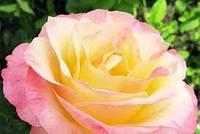 Роза чайно-гибридная Бела Перла