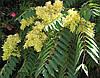 Айлант высочайший или китайский ясень (в упаковке 10 семян)