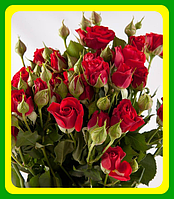 Роза бордюрная Ред Микадо( саженцы )