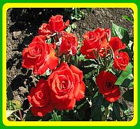 Роза Hot Bubbles (Хот Баблс) ( саженцы )