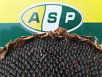 Высокоурожайный подсолнечник БЕНЕТО, Купить семена устойчивые к шести расам заразихи и засухе.