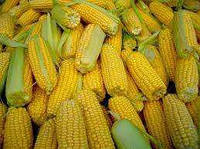 Семена кукурузы РАМ 1333 (ФАО 180)